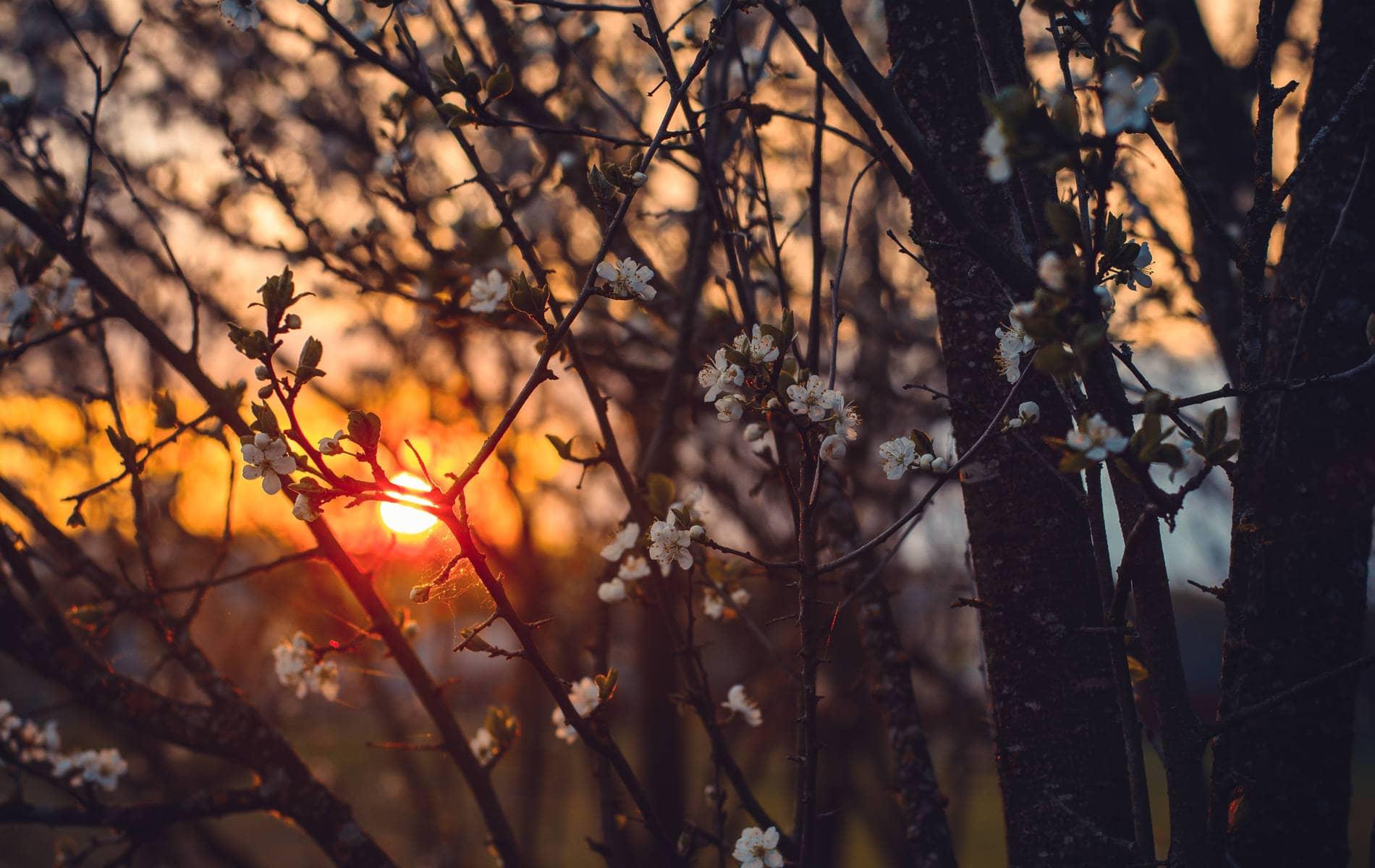 Baum mit Blüten - Rauschend im Sonnenuntergang