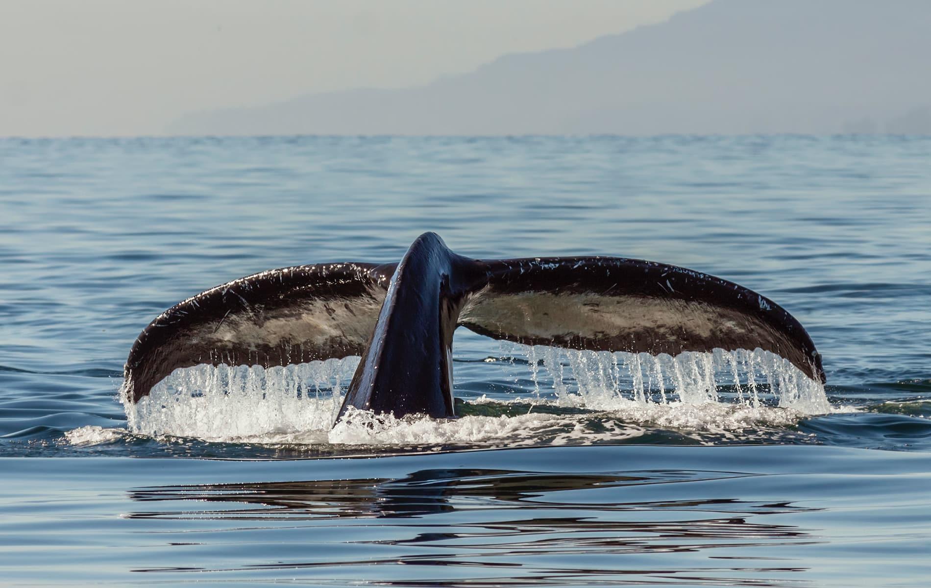 Flosse eines Buckelwals im kalten Wasser