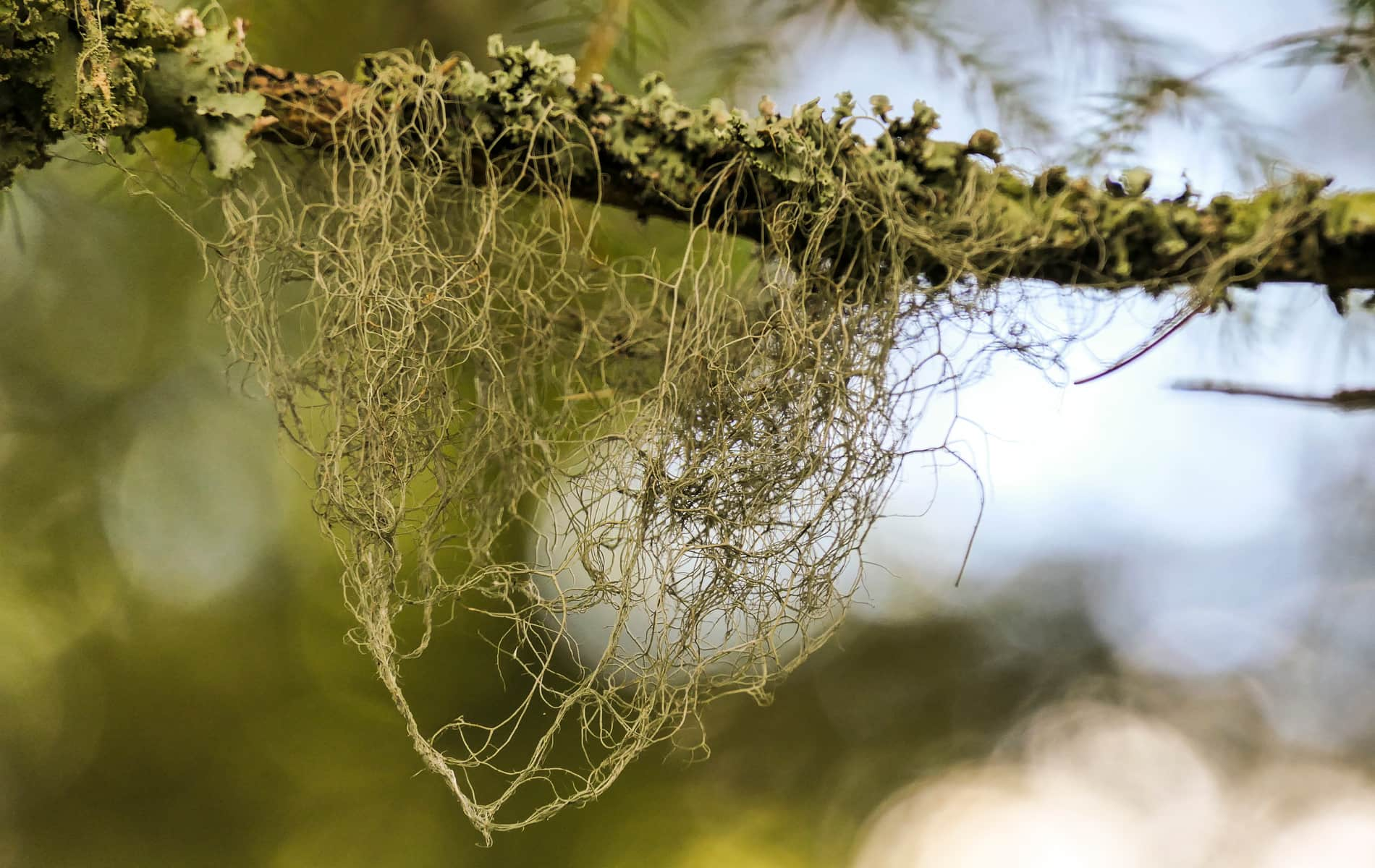 Moosflechte an dünnem Ast im Wald