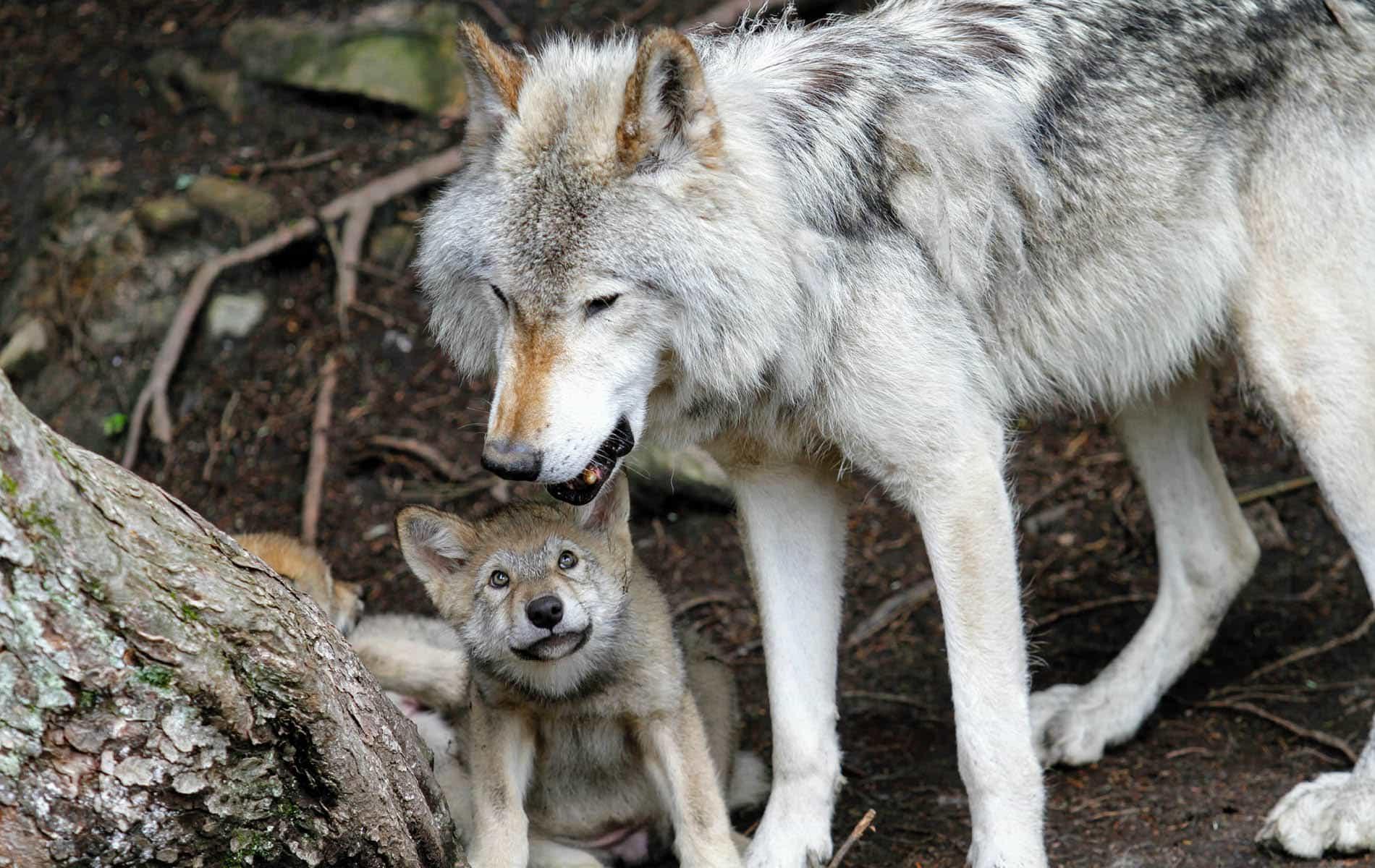 Grauer Wolf steht über seinem Jungen